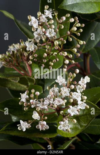 laurustinus viburnum tinus an evergreen winter flowering shrub in flower in a