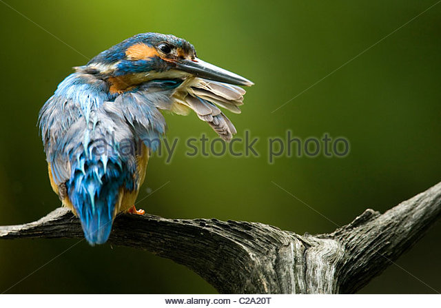 common adult kingfisher