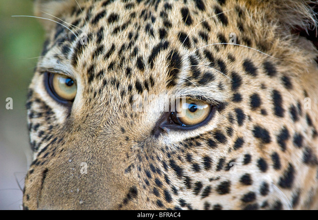 leopard eye close up - photo #18
