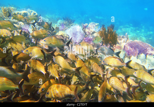 Snorkel caribbean fish stock photos snorkel caribbean for Caribbean reef fish
