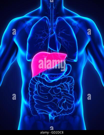 Body liver stock photos body liver stock images alamy human liver anatomy stock image ccuart Choice Image