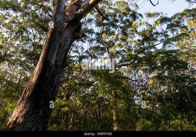 Eucalyptus Pilularis Stock Photos & Eucalyptus Pilularis