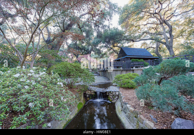 beautiful cherry blossom at japanese garden of descanso garden los angeles california stock
