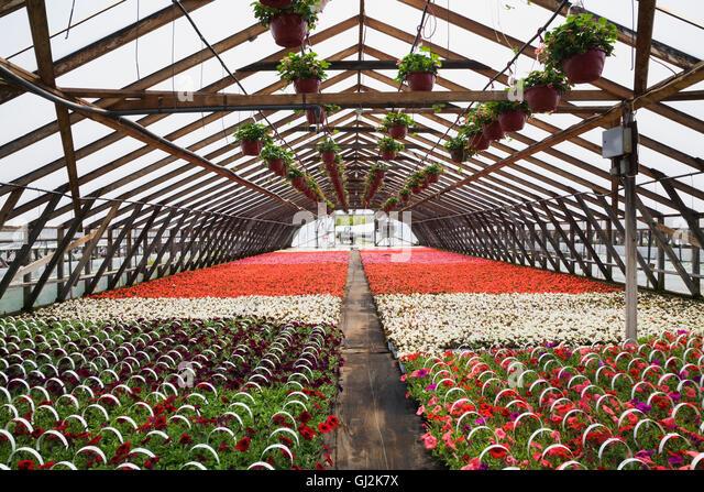 Municipal Hanging Flower Baskets : Pink begonias stock photos images