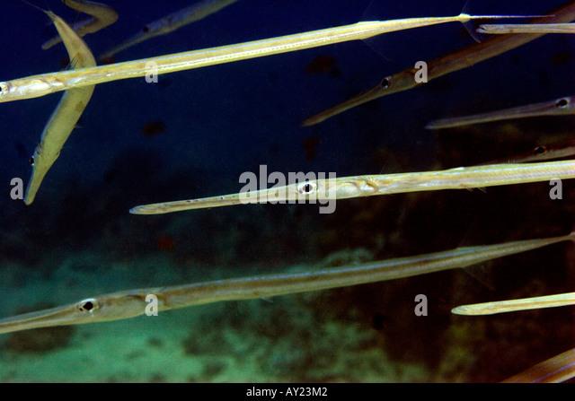 Red cornetfish