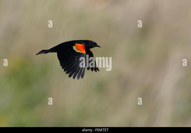 Blackbird flying stock photos blackbird flying stock for Apache mexican cuisine galveston
