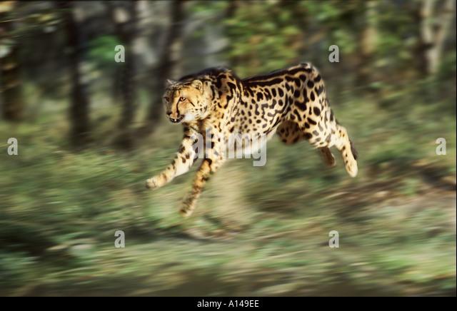 King Cheetah Running