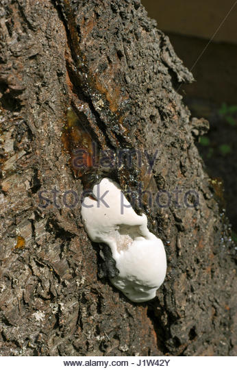 FUNGUS FROM EXUDING RESIN TO DAMAGE CHERRY TREE - Stock Image