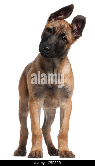 Belgian Shepherd Puppy Stock Photos & Belgian Shepherd ...