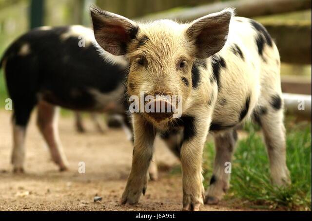 porky pig stock photos  u0026 porky pig stock images
