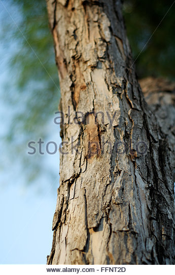 mahogany swietenia mahogany branch extract against American mahogany, genuine mahogany, big-leaf mahogany, brazilian  mahogany  pricing/availability: despite export restrictions, honduran  mahogany  mahogany, swietenia macrophylla is what most consider to be the  real and true.