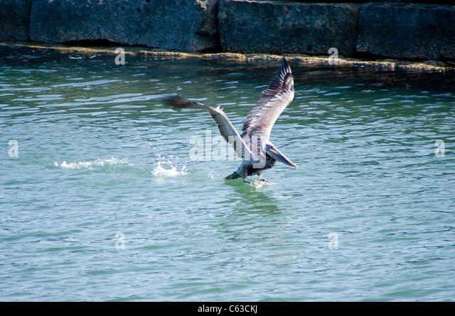 Little black cormorant bird stock photos little black for Fishing los angeles