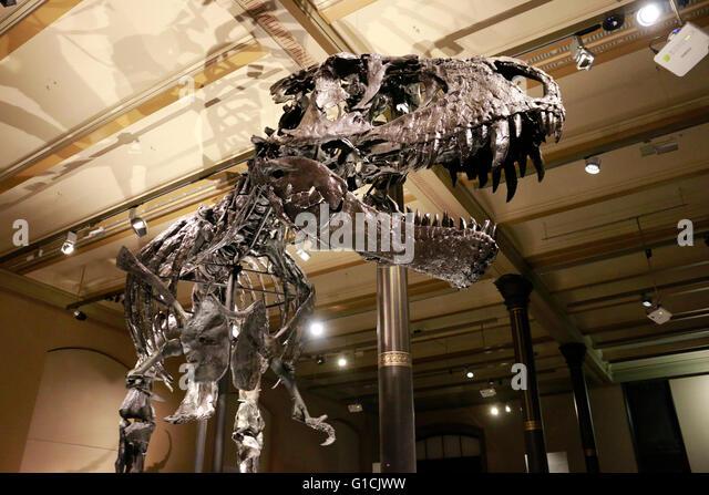Tyrannus saurus stock photos tyrannus saurus stock images alamy das skelett des tyrannus saurus rex tristan otto naturhistorisches museum berlin thecheapjerseys Image collections