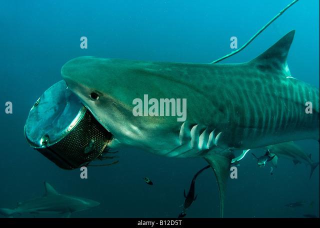 Shark Attack Stock Photos & Shark Attack Stock Images - Alamy  Shark Attack St...