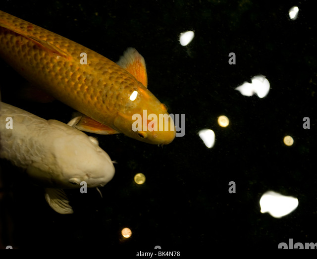 Carp breeding stock photos carp breeding stock images for Koi 9 en israel