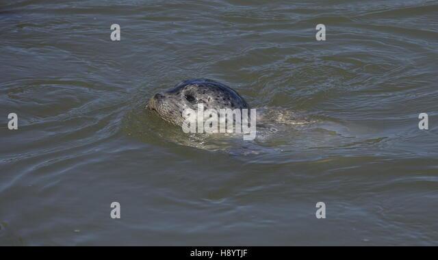 Harbor seal swimming