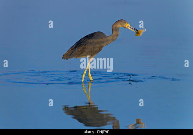 Little blue heron fishing stock photos little blue heron for Blue fish florida