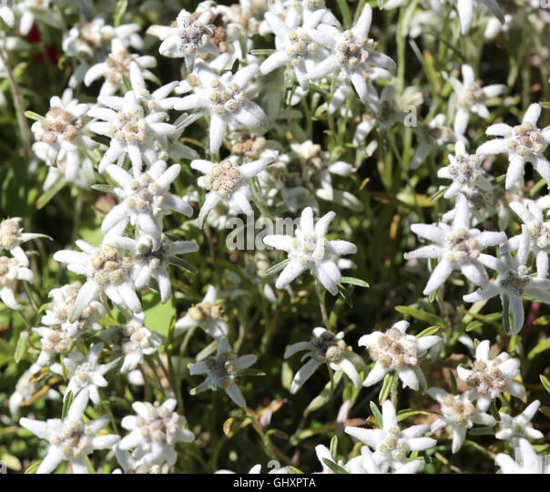 Edelweiss Flowers Stock Photos & Edelweiss Flowers Stock