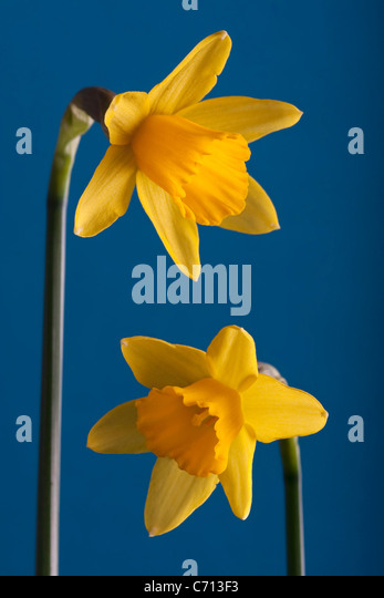 Blue Narcissus Flower