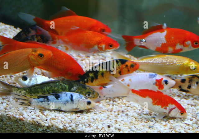Image gallery koi carp aquarium for Koi carp tank