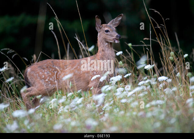 Roseburg Oregon USA 21st Aug 2014 A Blacktailed Deer Fawn Walks