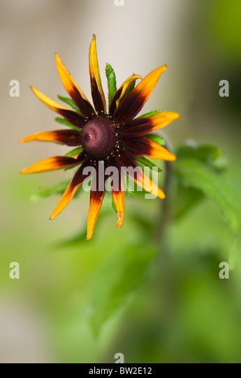 Sara single coneflower