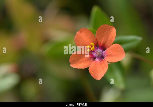 Scarlet Pimpernel Flower Stock Photos & Scarlet Pimpernel ...