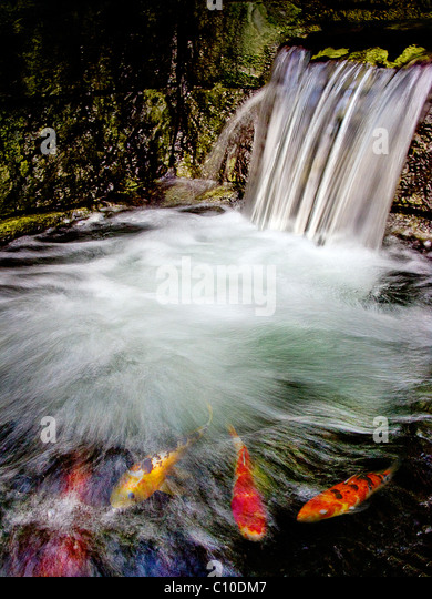 Blurry fish stock photos blurry fish stock images alamy for Colorful pond fish