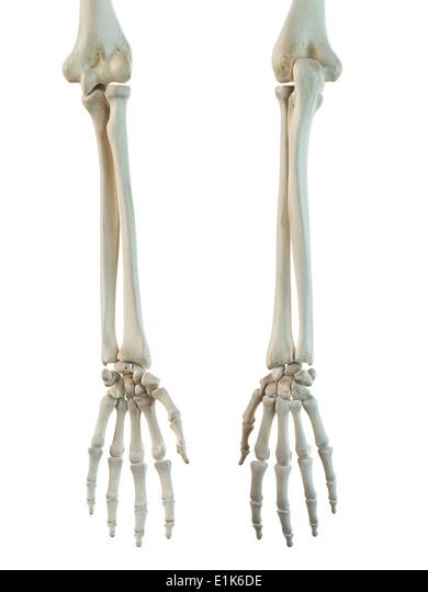 biomedical illustration bones in human stock photos & biomedical, Skeleton