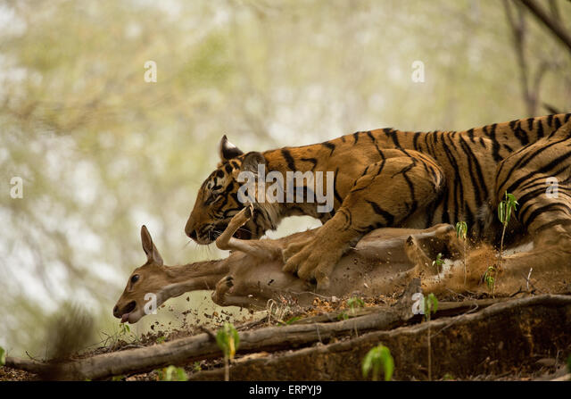 the tiger and deer aurobindo ghosh He tiger and the tiger is an interesting poem by sri aurobindo the ppt serves to have some new ideas and helps for the betterment of understanding.