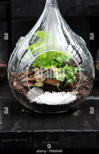 L Clamitans Terrarium Plants Stock...