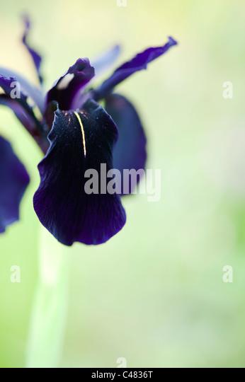 how to grow iris chrysographes