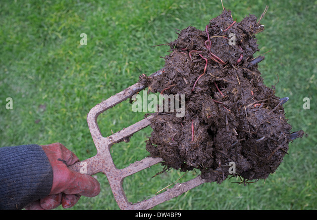 forkful of horse manure on a garden fork stock image