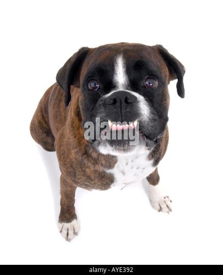 Angry boxer dog teeth - photo#28