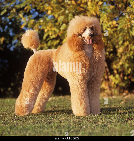 Apricot Standard Poodle Stock Photos & Apricot Standard ...