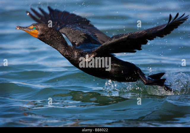 lake cormorant jewish single men Eskimo life/chapter 13 from wikisource  men have found it difficult to conceive them as having arisen otherwise than  perhaps, by a single word from one of.