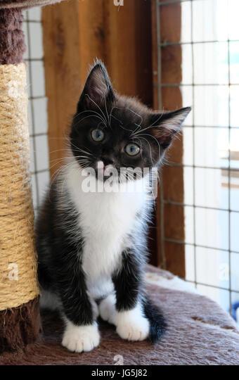 Young kitten in British animal sanctuary awaiting adoption - Stock Image