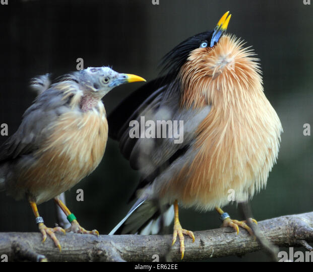 Pagoda Starling or Brahminy Starling, Sturnus Pagodarum, native of ...