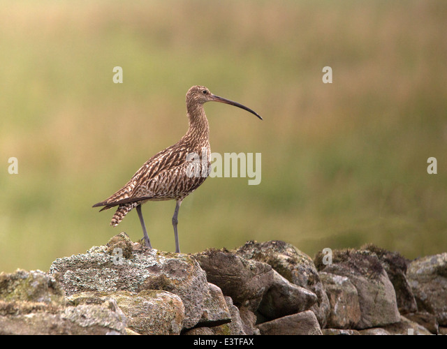 black singles in curlew Download curlew sandpiper stock photos affordable and search from millions of royalty free images, photos and vectors thousands of images added daily.