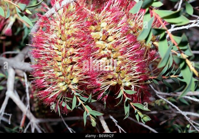 Arbuste Martine 19 décembre trouvé par Ajonc Callistemonbottlebrush-flower-spikes-callistemon-citrinus-hybrid-family-b6wh2f