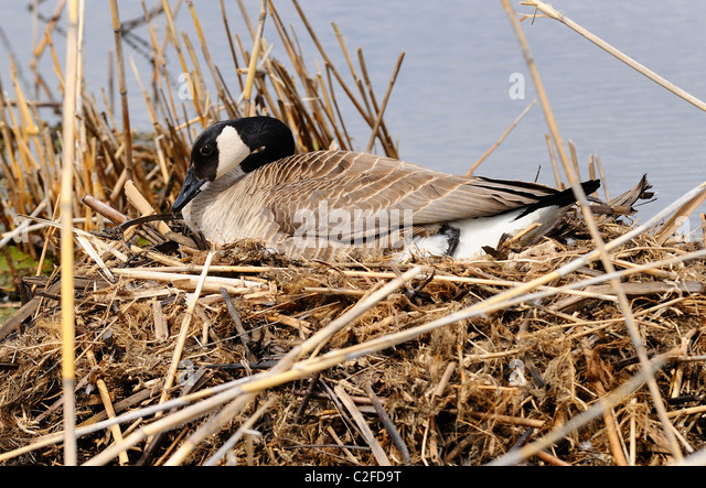 Canada Goose hats replica authentic - Canadian Goose Nest Stock Photos & Canadian Goose Nest Stock ...
