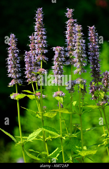 giant hyssop blue fortune - photo #23