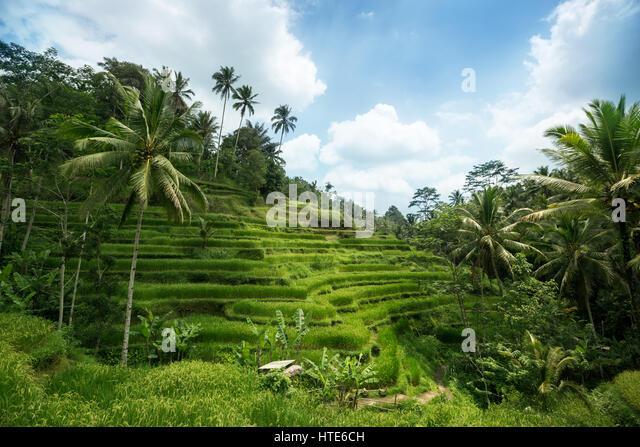 Balinese rice terrace mountain stock photos balinese for Terrace ubud bali