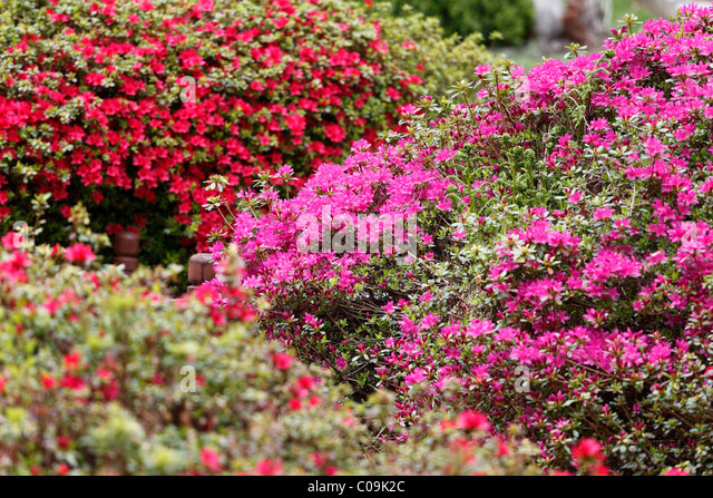 Rhododendron 39 S Stock Photos Rhododendron 39 S Stock Images Alamy