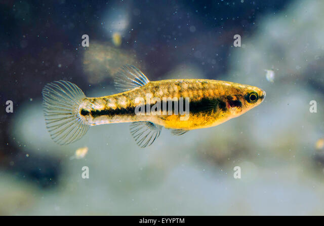 least killifish (Heterandria formosa), female, USA, Florida, Kissimmee ...