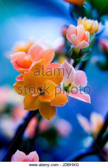 Romantic and dreamy midsummer in Sweden,colourful Kalanchoe flowers. - Stock Image