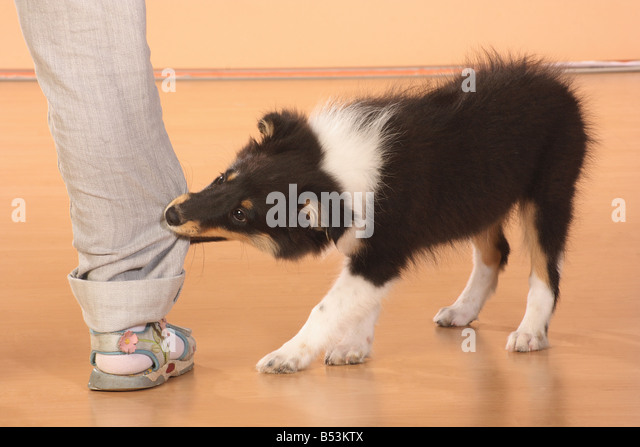 bad habbit sheltie puppy biting in trousers stock bilder - Bordre Bad Bilder
