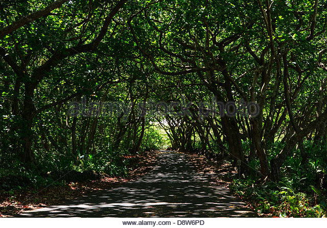 Road protected by natural canopy - Stock Image & Hawaii Island Canopy Stock Photos u0026 Hawaii Island Canopy Stock ...