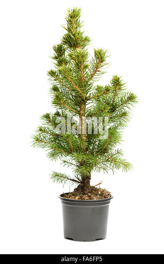 small real undecorated bare christmas tree in a pot isolated on white background stock - Small Real Christmas Trees