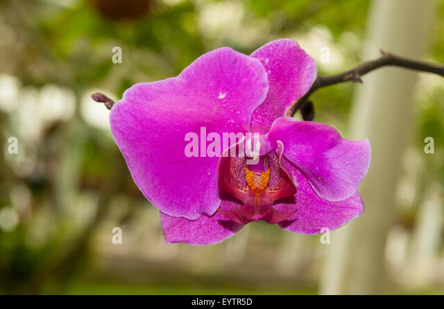 South American Orchid Stock Photos Amp South American Orchid